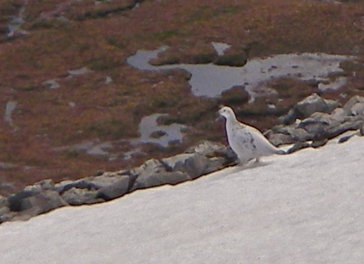 Ptarmigan loathed to move off its patch of snow!