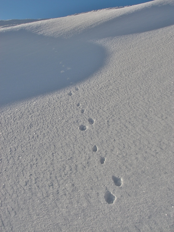 Mountain hare ran through drift of windslab.