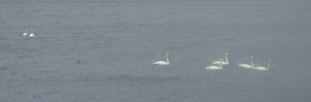 The highlight of the day - 7 Whooper swans on Loch Droma. At least something appreciated the rain!