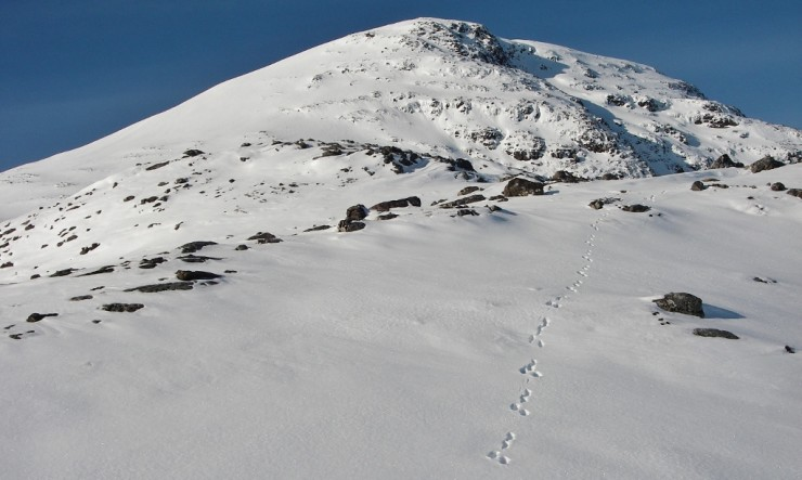 Even the Mountain Hares were wearing snowshoes on Meall a' Ghiuthais.